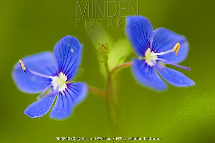 Germander Speedwell (Veronica chamaedrys) flowers Tatra National Park, Slovakia  -  Bruno D'amicis/ npl