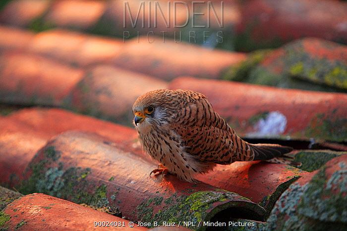 Lesser Kestrel (Falco naumanni) female perching on rooftop, Quintana de la Serena, Badajoz, Extremadura, Spain  -  Jose B. Ruiz/ npl