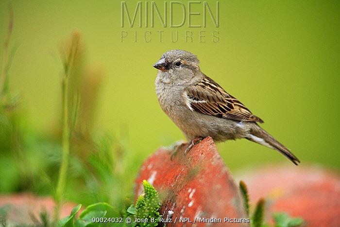 House Sparrow (Passer domesticus) Quintana de la Serena, Badajoz, Extremadura, Spain  -  Jose B. Ruiz/ npl