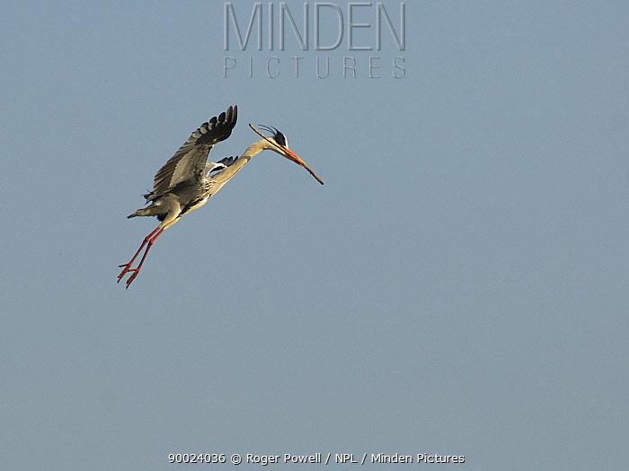 Grey Heron (Ardea cinerea) parachuting down towards nest with nesting materials, Evora, Portugal  -  Roger Powell/ npl