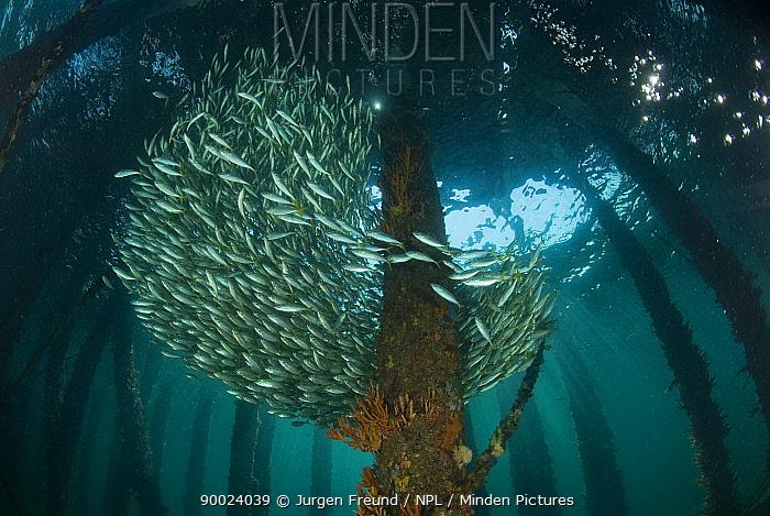 Schooling fish between pilons beneath the 2km long Busselton Jetty Busselton, Western Australia  -  Jurgen Freund/ npl