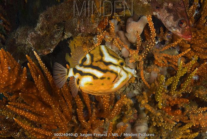 White barred boxfish (Anoplocapros lenticularis) amongst corals beneath Busselton Jetty Busselton, Western Australia  -  Jurgen Freund/ npl