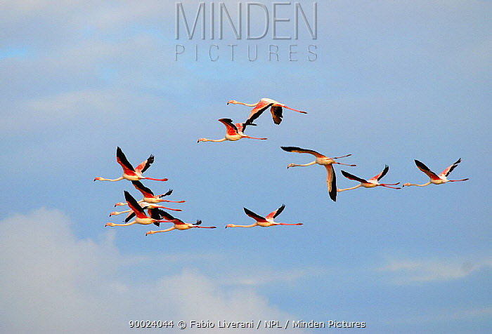 European Flamingo (Phoenicopterus ruber roseus) in flight against a pastel blue cloudy sky, delta region of the River Po, Italy  -  Fabio Liverani/ npl