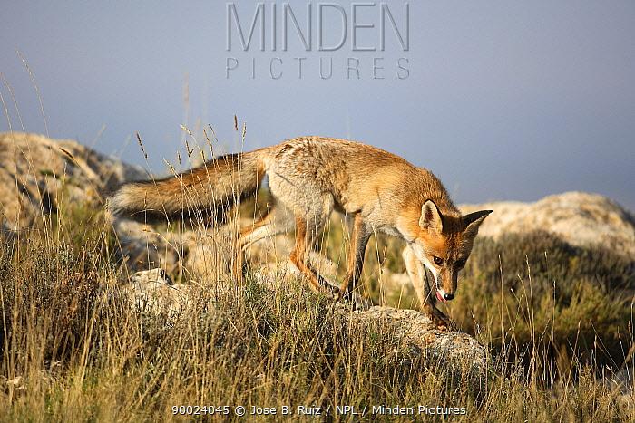 Red Fox (Vulpes vulpes) searching for prey amongst rocks, Spain  -  Jose B. Ruiz/ npl