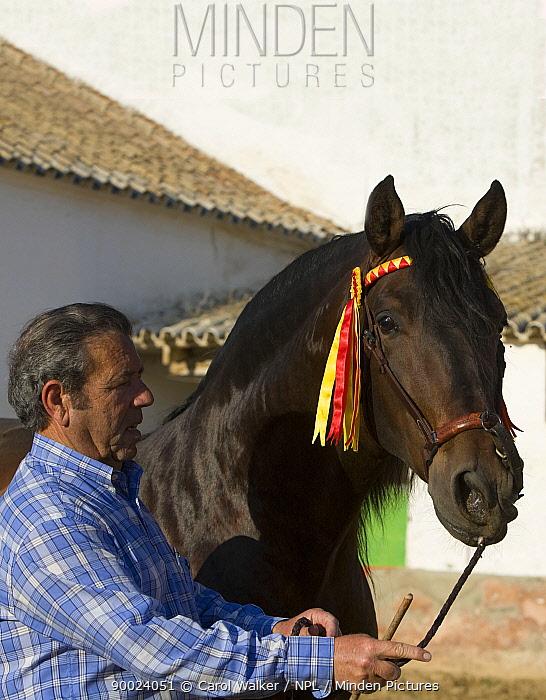 Man with Bay Andalusian stallion, Osuna, Spain, model released  -  Carol Walker/ npl