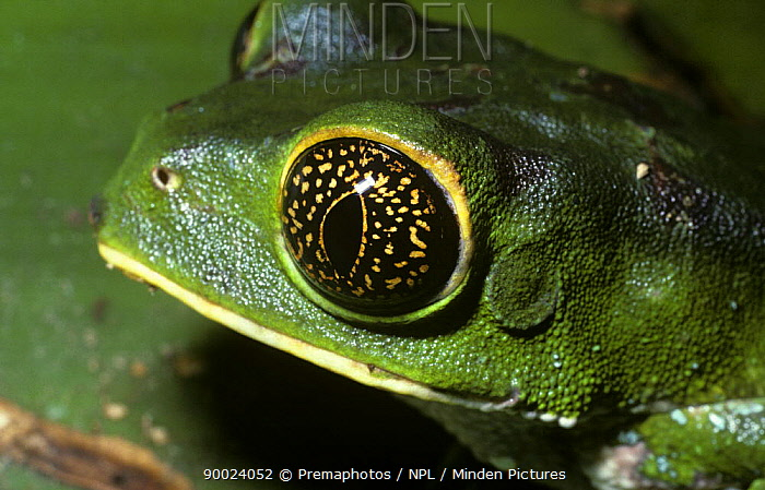 Brownbelly Leaf Frog (Phyllomedusa tarsius), considered by some to be the same species as Phyllomedusa tarsius Close-up of male's eye at night, Trinidad  -  Premaphotos/ npl