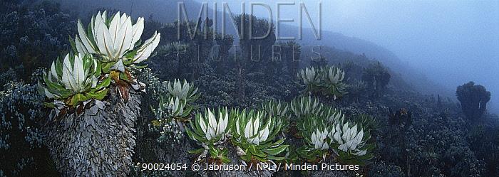 Giant groundsel (Senecio johnstonii) growing near Lac Vert at 4220m, Mountains of the Moon, Virunga NP, DR of Congo  -  Jabruson/ npl
