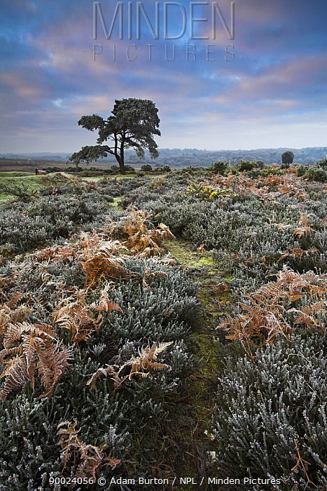 Hoar frost on bracken in New Forest, Hampshire, England  -  Adam Burton/ npl