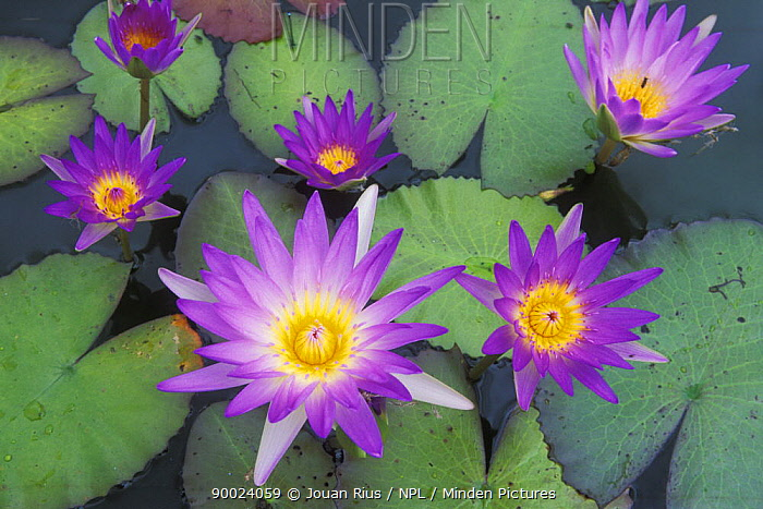 Water lilies in bloom, Northern Dry Forest, Madagascar  -  Jouan & Rius/ npl