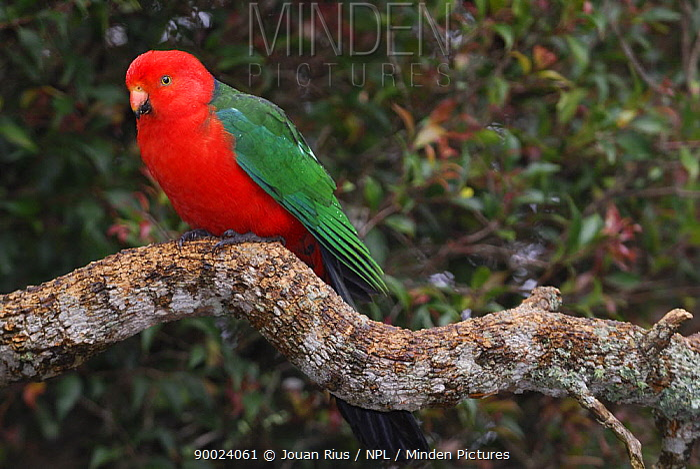 Australian King Parrot (Alisterus scapularis) male on branch, Queensland, Australia  -  Jouan & Rius/ npl