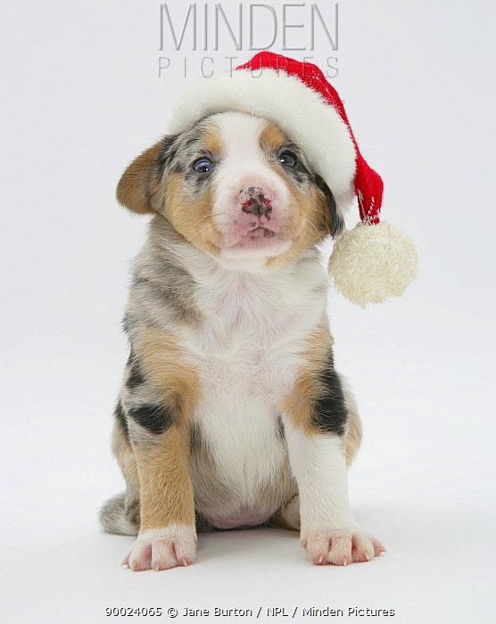 Border Collie puppy wearing a Father Christmas hat  -  Jane Burton/ npl