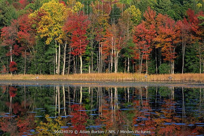 Autumn colours in Beartown State Forest, Berkshire Hills, Massachusetts, USA  -  Adam Burton/ npl
