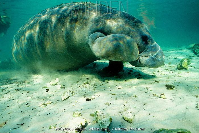 Florida manatee (Trichechus manatus latirostris), Crystal River, Florida, USA  -  Doc White/ npl