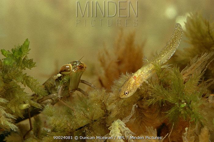 Sedge Darner (Aeshna juncea) with juvenile salamander, Scotland  -  Duncan McEwan/ npl