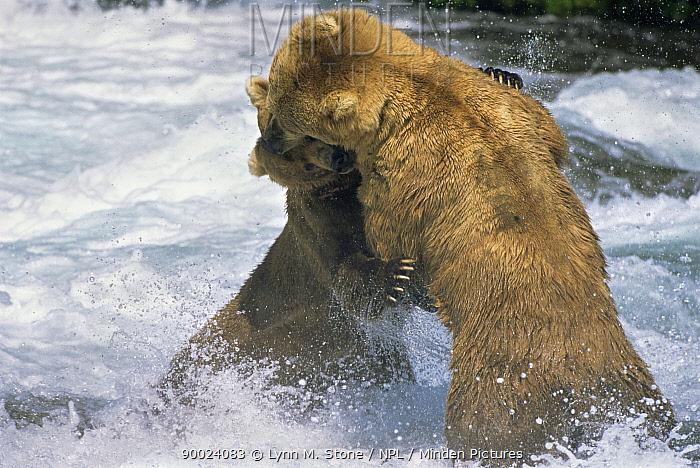 Brown Bear (Ursus arctos) pair fighting, Alaska USA  -  Lynn M. Stone/ npl