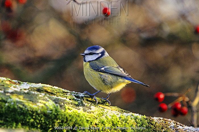 Blue Tit (Parus caeruleus) England, United Kingdom  -  David Kjaer/ npl