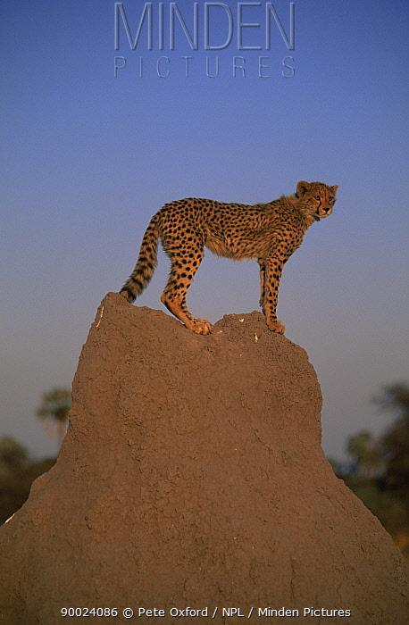 Cheetah (Acinonyx jubatus) on Termite mound, Okavango Delta, Botswana  -  Pete Oxford/ npl