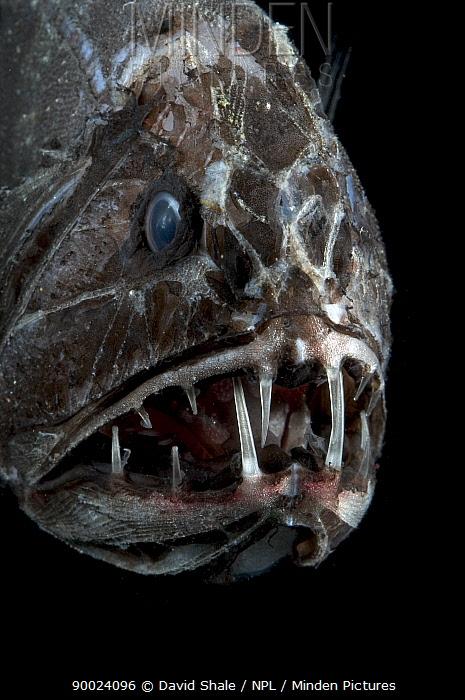 Fangtooth (Anoplogaster cornuta), deep sea Atlantic ocean  -  David Shale/ npl