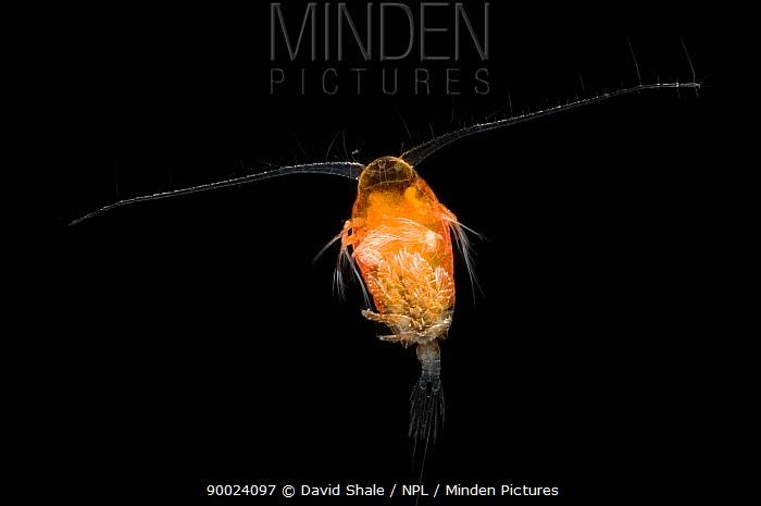 Copepod (Copepoda), deep sea Atlantic ocean  -  David Shale/ npl