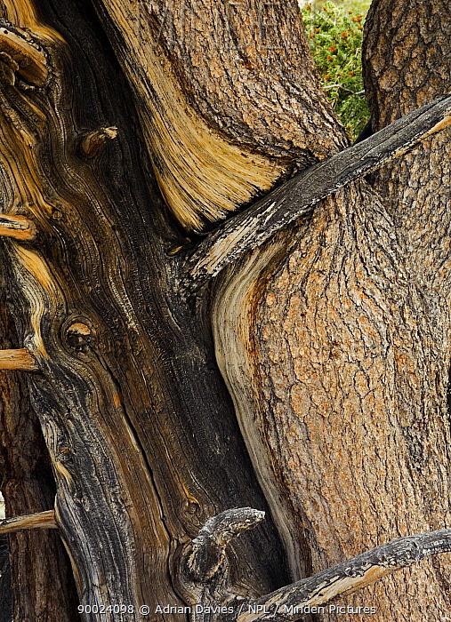 Rocky Mountains Bristlecone Pine (Pinus aristata) trunk Inyo county, California  -  Adrian Davies/ npl