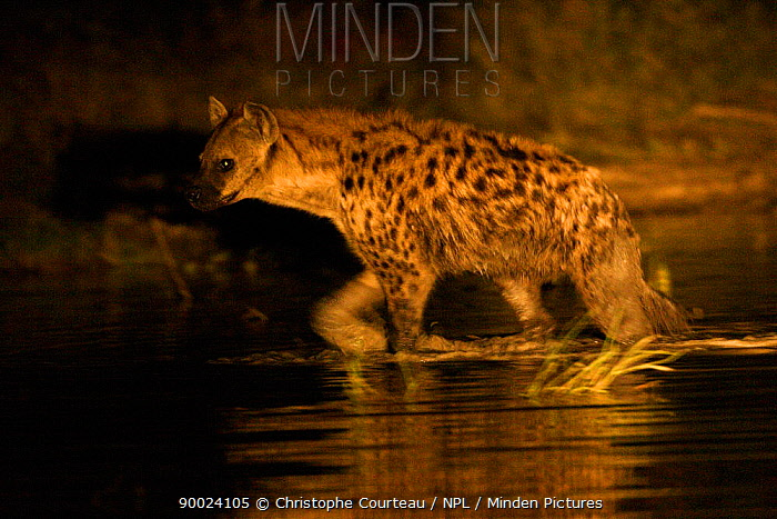 Spotted Hyena (Crocuta crocuta) wading through shallow water at night, Okavango Delta, Botswana  -  Christophe Courteau/ npl