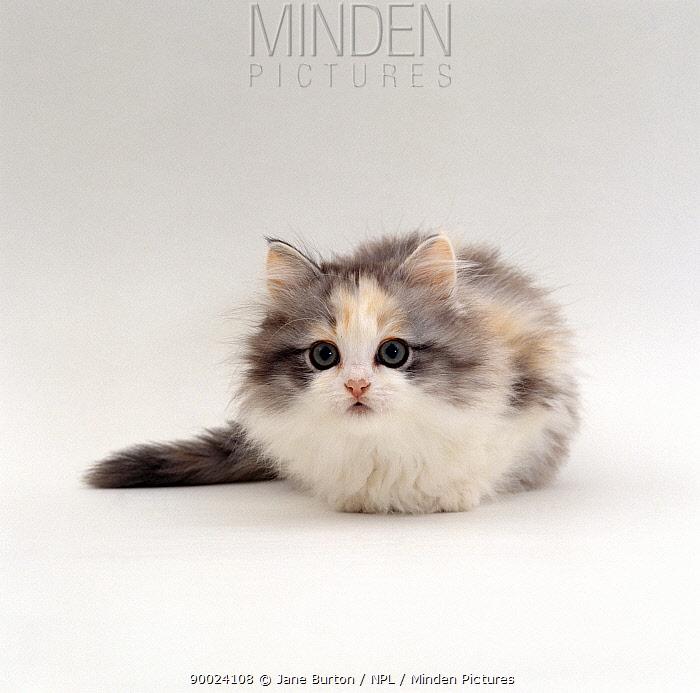 Domestic Cat (Felis catus) 9-weeks, Chinchilla-cross kitten 'Blossom'  -  Jane Burton/ npl