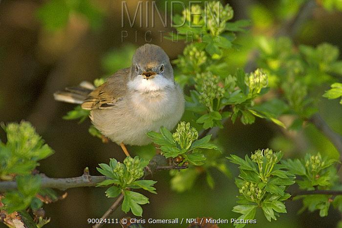 Common Whitethroat (Sylvia communis) male singing in hawthorn, Hertfordshire, United Kingdom  -  Chris Gomersall/ npl
