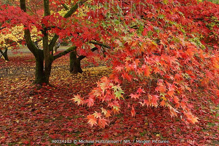 Maple leaves in autumn (Acer sp) Westonbirt Arboretum, UK  -  Michael Hutchinson/ npl