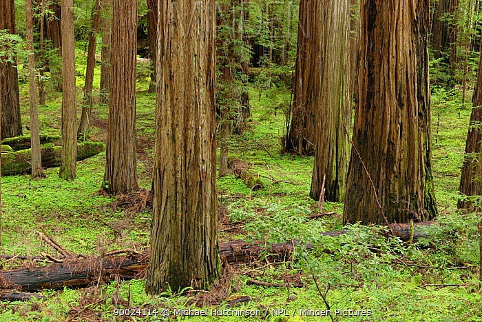 Coastal Giant Redwood forest (Sequoia sempervirens) with Redwood sorrel (Oxalis oregana) Avenue of the Giants, Humboldt Redwoods State Park, California, USA  -  Michael Hutchinson/ npl
