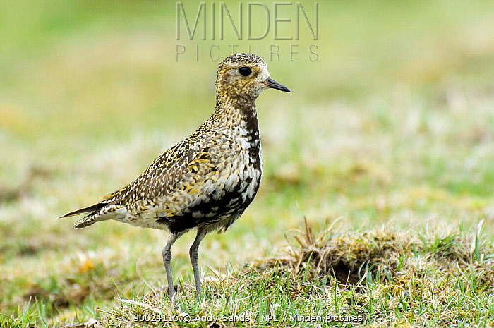 Golden Plover (Pluvialis apricaria) Female, Upper Teesdale, County Durham, United Kingdom  -  Andy Sands/ npl