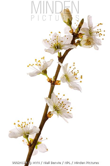 Blackthorn (Prunus spinosa), Angus, Scotland United Kingdom  -  Niall Benvie/ npl