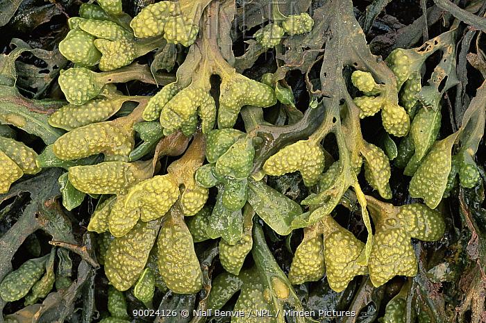 Twisted Wrack (Fucus spiralis) Scotland United Kingdom  -  Niall Benvie/ npl