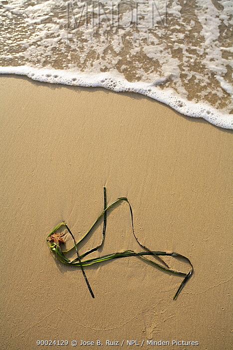 Neptune Grass (Posidonia oceanica) washed up on beach, Vistamar beach, Pilar de la Horadada, Alicante, Spain  -  Jose B. Ruiz/ npl
