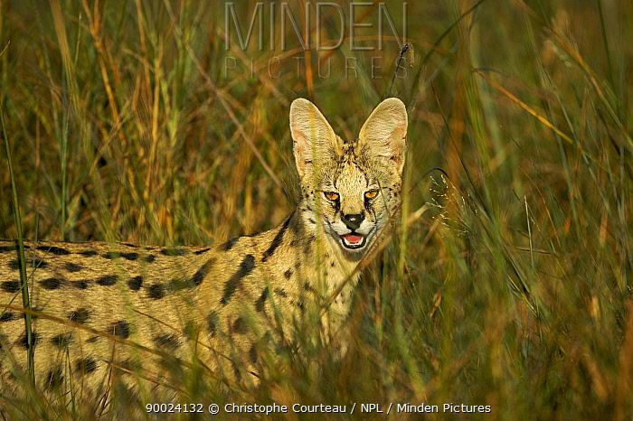 Serval (Felis serval) in long grass late in the afternoon, Okavango Delta, Botswana  -  Christophe Courteau/ npl