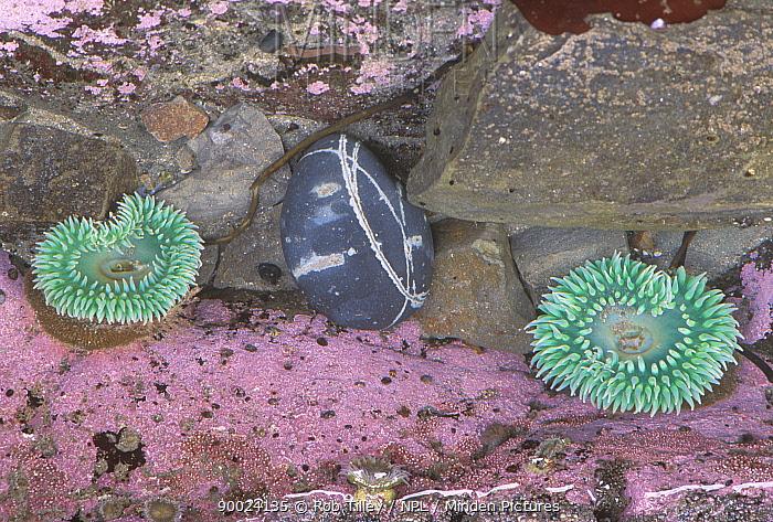 Giant Green Sea Anemone (Anthopleura xanthogrammica)Giant Green Anemones, Rialto Beach, Olympic National Park, Washington  -  Rob Tilley/ npl