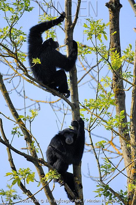 Siamang (Hylobates syndactylus) in tree, captive  -  Eric Baccega/ npl