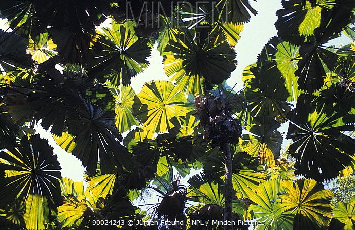 Looking up through the leaf canopy of Australian fan palm (Licuala ramsayi) Australia  -  Jurgen Freund/ npl