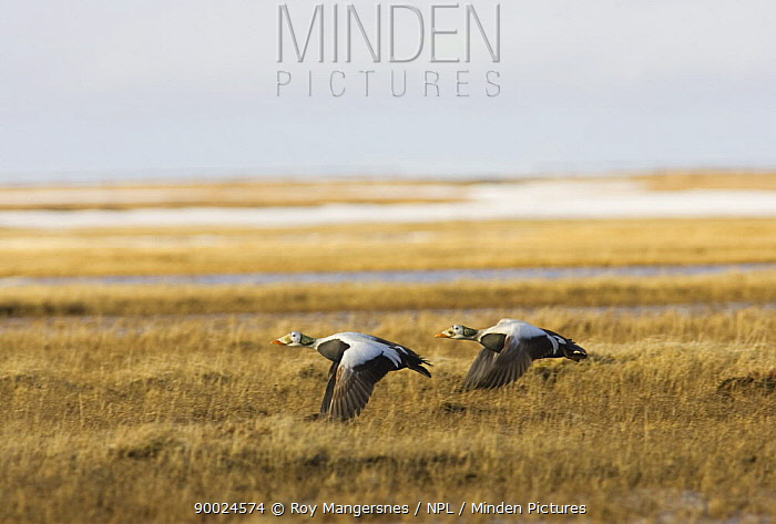 Spectacled Eider (Somateria fischeri) pair males flying over arctic tundra, Barrow, Alaska  -  Roy Mangersnes/ npl