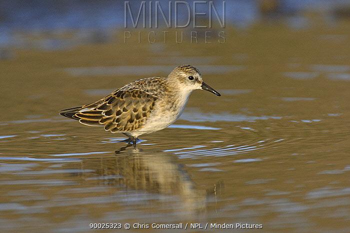 Little Stint (Calidris minuta) autumn juvenile standing in water Norfolk, England  -  Chris Gomersall/ npl
