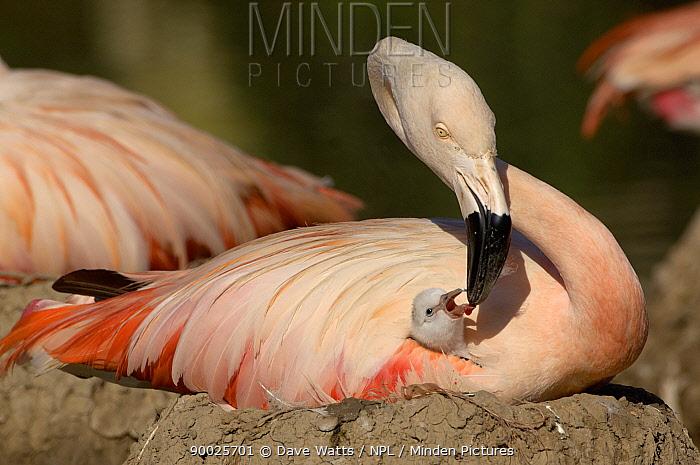 Chilean Flamingo (Phoenicopterus chilensis) feeding chick on nest, WWT, Slimbridge, United Kingdom  -  Dave Watts/ npl