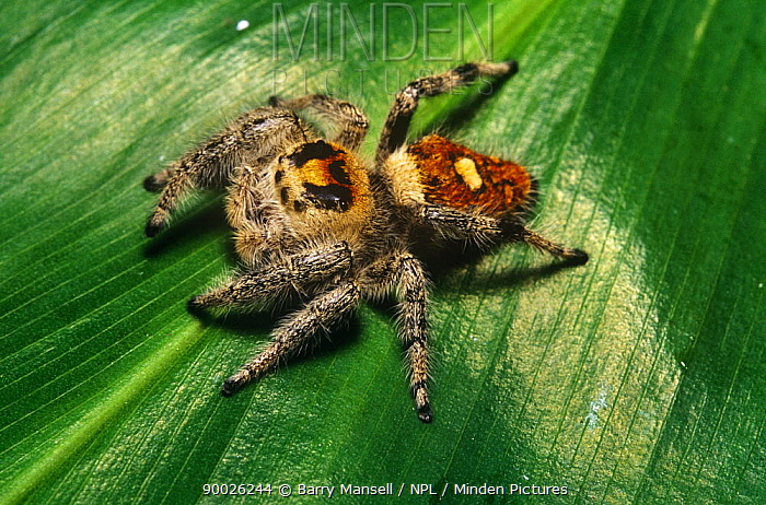 Jumping Spider (Phidippus regius), Florida  -  Barry Mansell/ npl