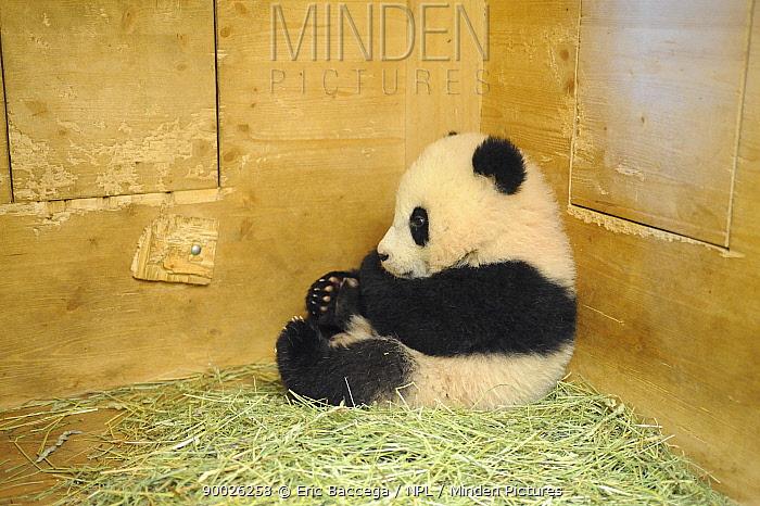 Giant Panda (Ailuropoda melanoleuca) baby in his den, 6 months old, Schonbrunn Zoo, Austria  -  Eric Baccega/ npl
