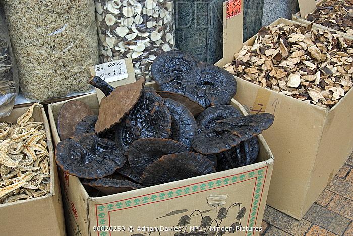 Bracket fungi (Ganoderma lucidum) known as Lingzhi, Reshi, on sale in Chinese herbal medicine market, Hong Kong, China  -  Adrian Davies/ npl