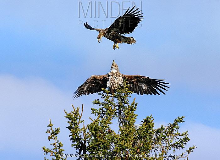 White-tailed Eagle (Haliaeetus albicilla) aggressive interaction, Finland  -  Jorma Luhta/ npl