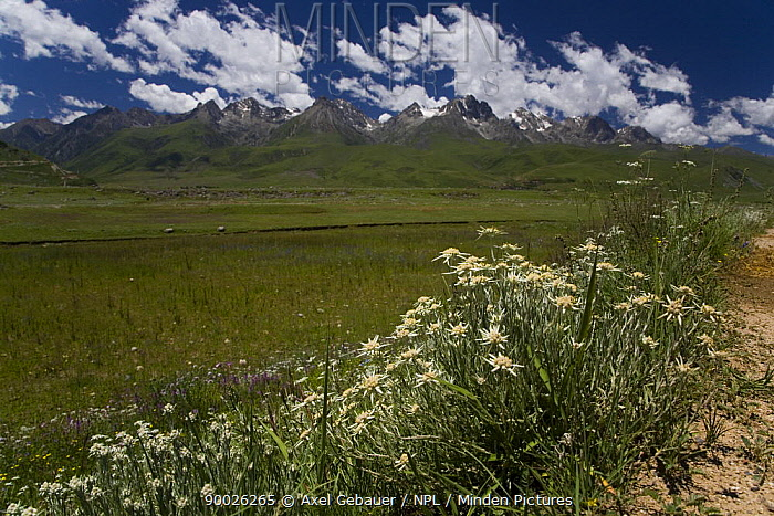 Edelweiss (Leontopodium sp) flowering on meadow in Dargye, Sichuan, Kham, with mountains in the background Southeast China mountains biodiversity hotspot, Tibet, China  -  Dr. Axel Gebauer/ npl