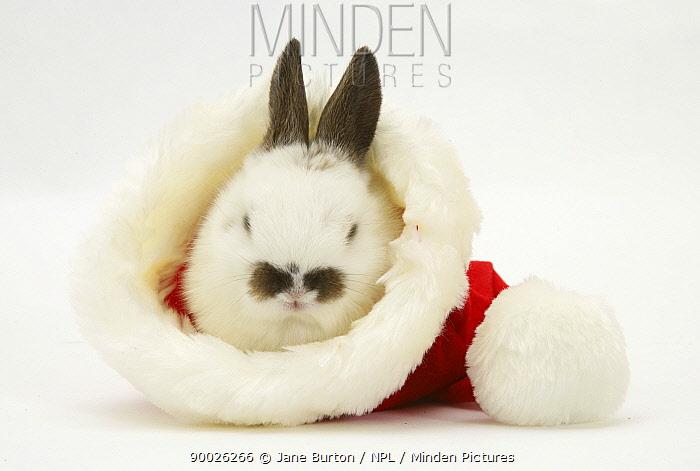 Baby rabbit in a Father Christmas hat  -  Jane Burton/ npl