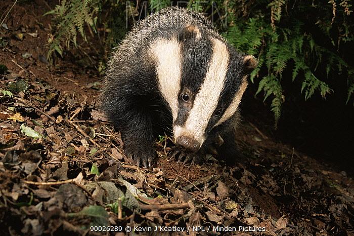 Eurasian Badger (Meles meles) in woodland Devon, United Kingdom  -  Kevin J Keatley/ npl