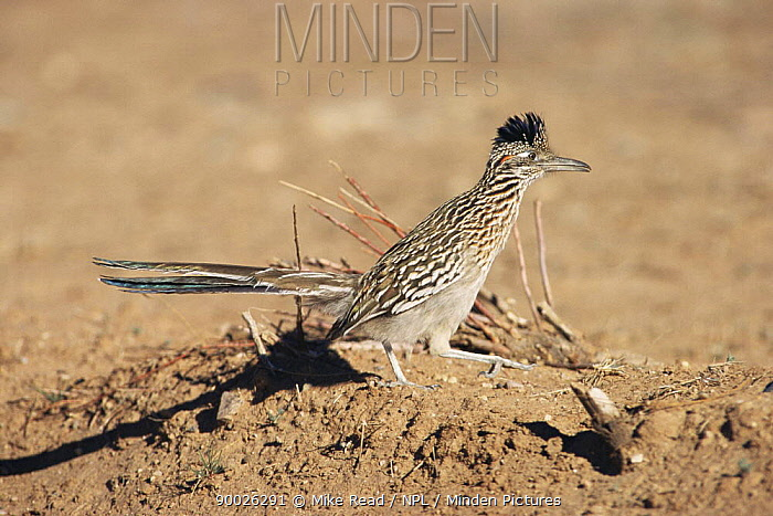 Greater Roadrunner (Geococcyx californianus) New Mexico  -  Mike Read/ npl