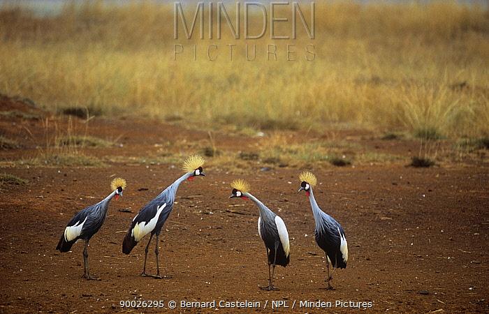 Grey Crowned Crane (Balearica regulorum) group Kenya  -  Bernard Castelein/ npl