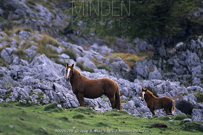 Horse mare and foal (Equus caballus) on rocky mountain side, Picos de Europa, Spain  -  Jose B. Ruiz/ npl